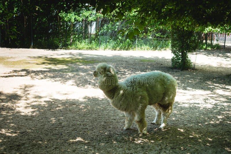 Langharige alpaca die in een Russische dierentuin lopen die in de schaduw van bomen weiden voorwaarden om wilde dieren in gevange royalty-vrije stock afbeeldingen