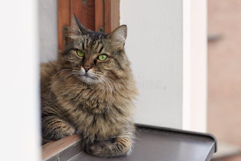 Langharige Siberische kat van tebby kleurenlais op het venster uit van het venster, hogere vloer van het huis, groot, bont en ove stock foto