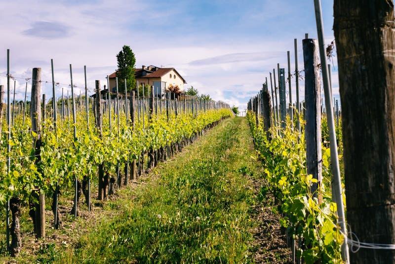 Langhe och Roero ving?rdar V?r Vinodling n?ra Barolo, Piedmont, Italien, Unesco-arv Dolcetto Barbaresco arkivbilder