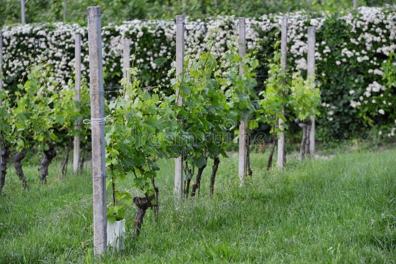 Langhe winnica w Podgórskim Włochy około Maj 2018 obraz royalty free