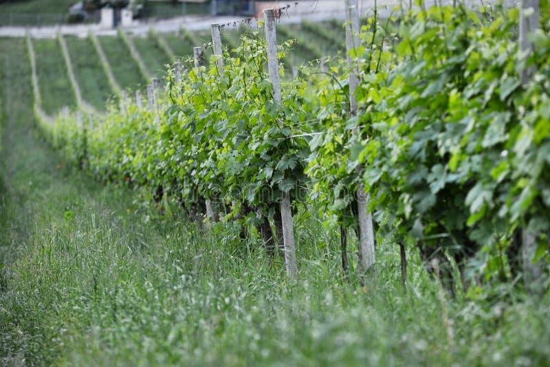 Langhe winnica w Podgórskim Włochy około Maj 2018 fotografia stock
