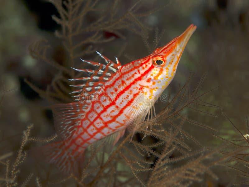 Langnasige hawkfish lizenzfreie stockbilder