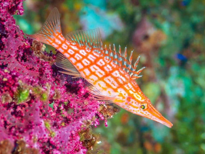 Langnasige hawkfish, Oxycirrhites-typus UNTERWASSERATEMGERÄT, Bali lizenzfreies stockbild