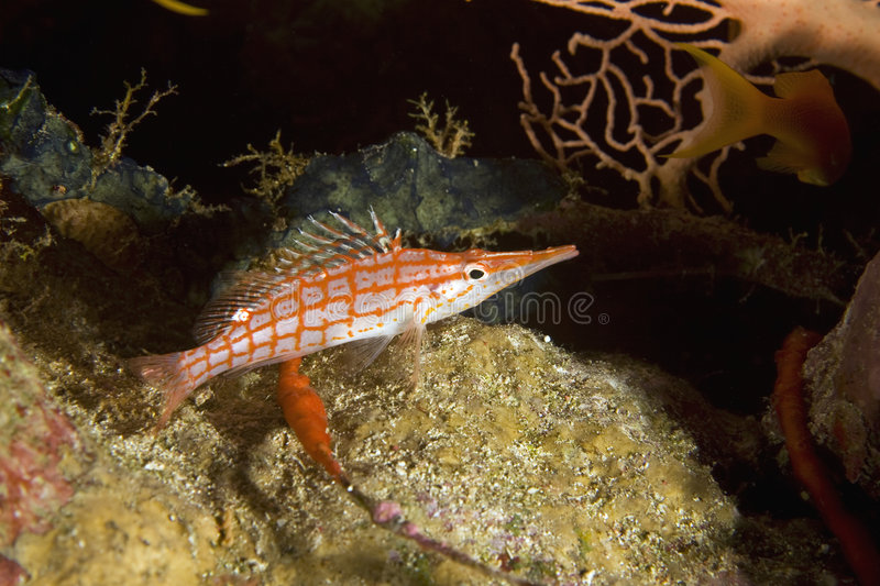 Langnasiges hawkfish stockfotos