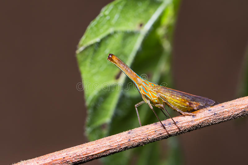 Langnasiges planthopper in der Natur stockfotos