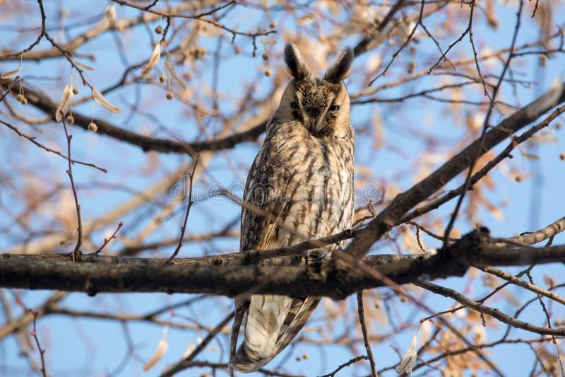 Langohriger Owl Asio-Otus stockfotos