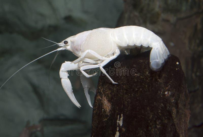 Langosta blanca eléctrica de los cangrejos imagenes de archivo
