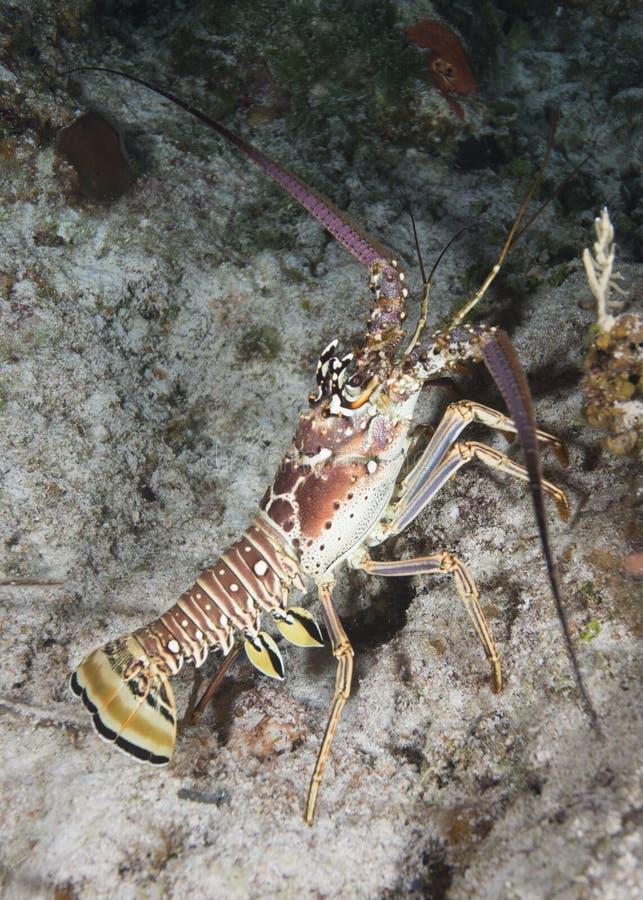 Langosta espinosa del Caribe foto de archivo libre de regalías