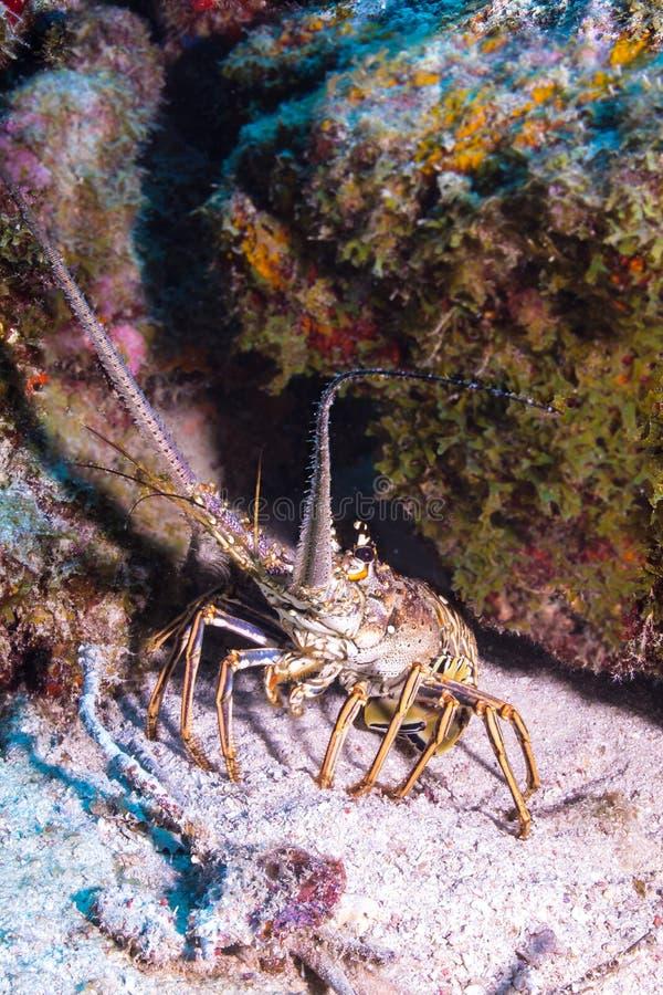 Langosta espinosa del Caribe imagenes de archivo