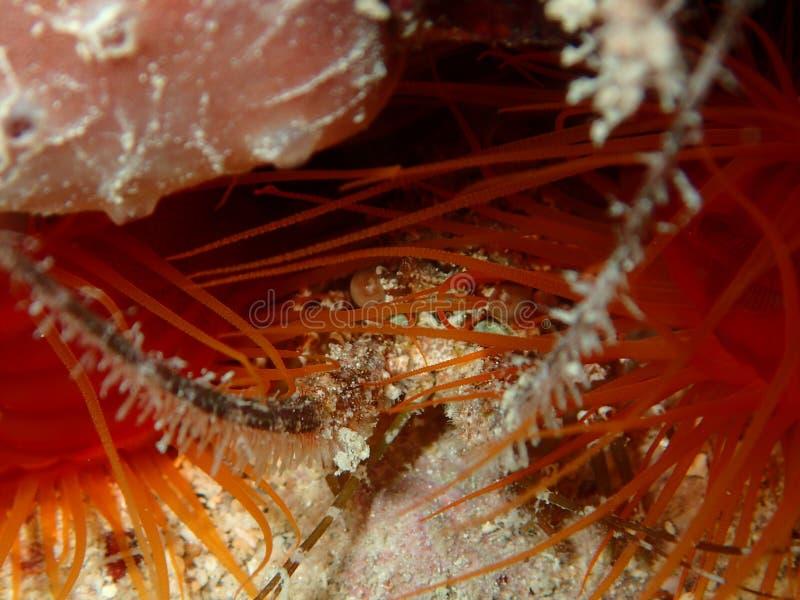 Langosta espinosa juvenil entre las llaves de la Florida de las almejas foto de archivo