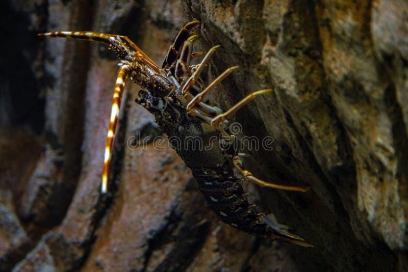 Langosta espinosa - Palinurus elephas. Captura submarina de langosta en el fondo del océano. Estos mariscos son comunes en el oes fotos de archivo libres de regalías