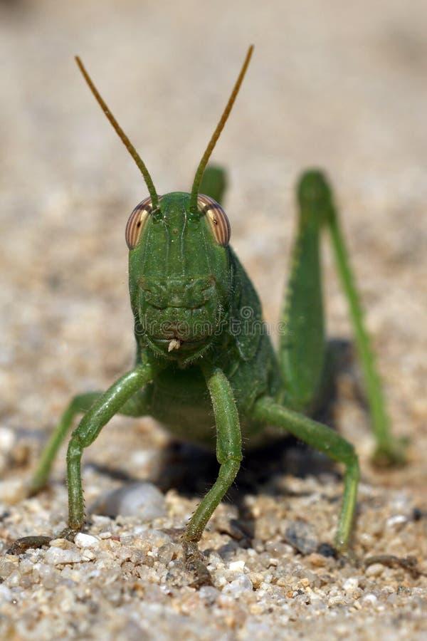 Langosta verde del grasshoper en la arena foto de archivo