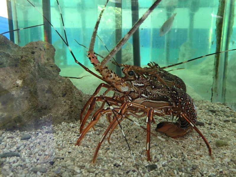 Langouste aquarium royalty free stock photos