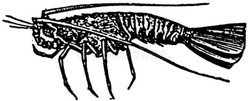 Langoustine-001 Free Public Domain Cc0 Image