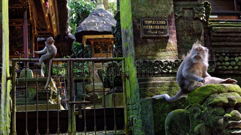 Langschwänzige Makaken stockfoto