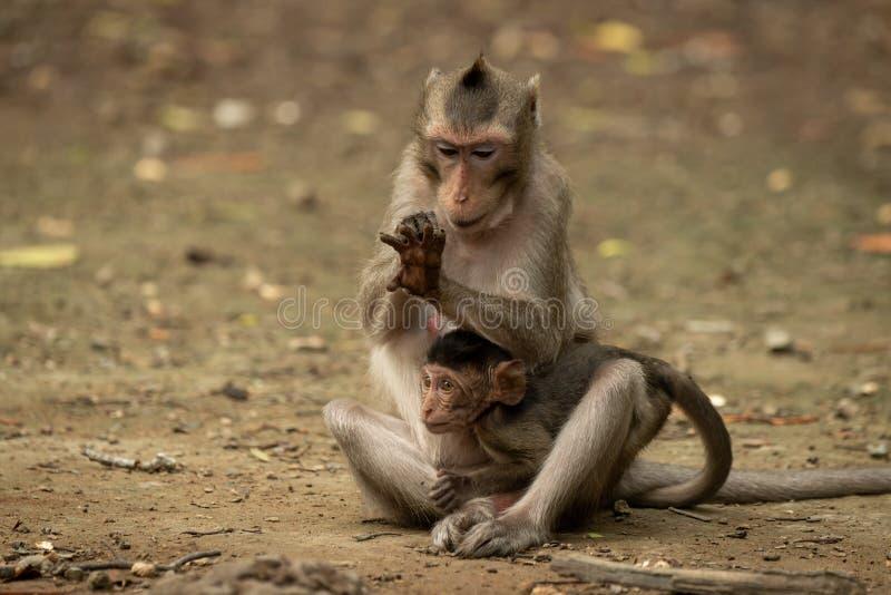 Langschwänziger Makaken überprüft Hand beim Halten des Babys lizenzfreies stockfoto