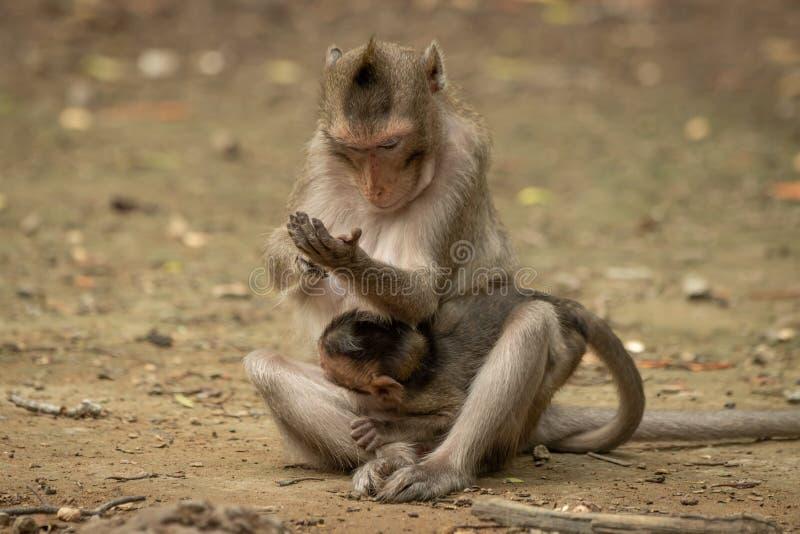 Langschwänziger Makaken überprüft Hand beim Tragen des Babys stockfotos