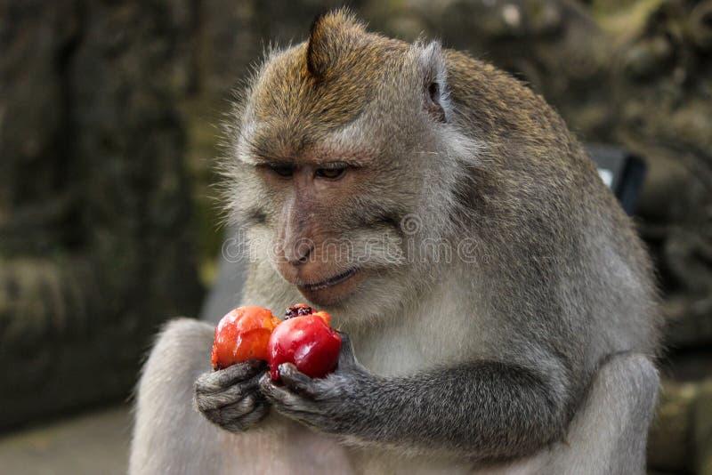 Langschwänziger Makakenaffe, der eine rote Frucht isst lizenzfreie stockbilder