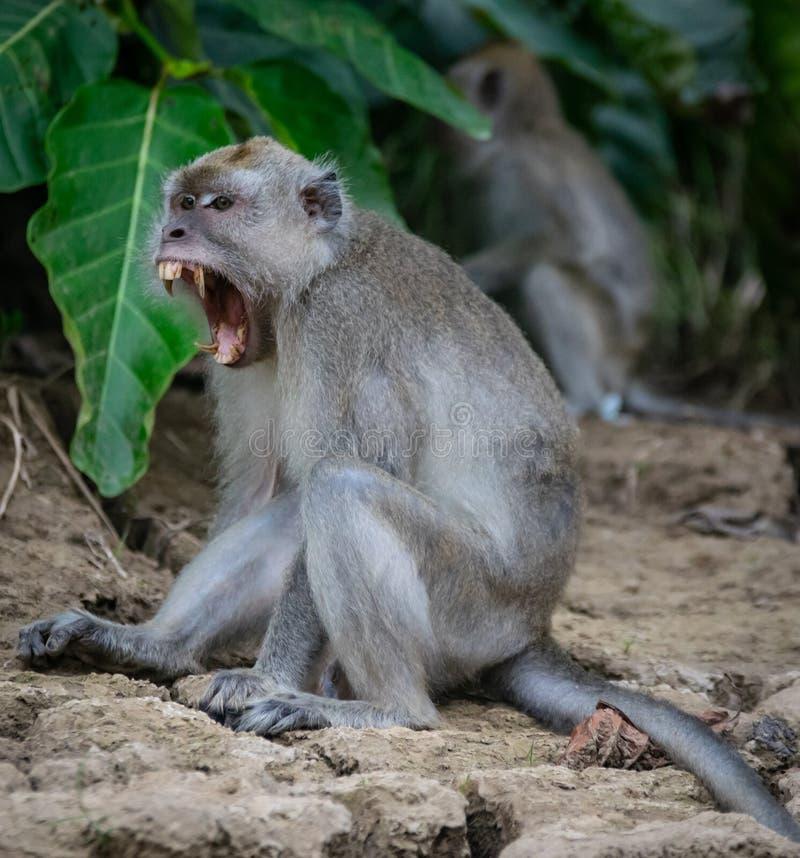 Langschwänziger Makakenaffe, der seine Zähne in Borneo-Insel, Sabah zeigt lizenzfreies stockbild