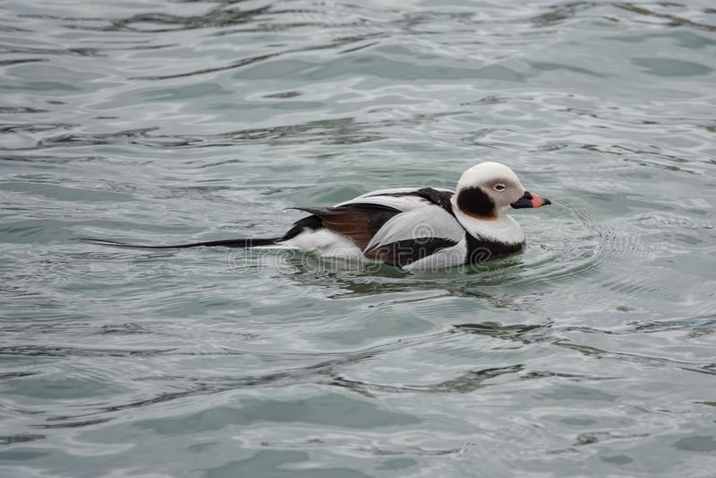 Langschwänziges Duck Swimming auf dem Eriesee lizenzfreie stockfotografie