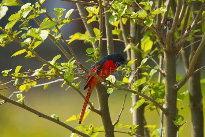 Langschwänziges minivet, Pericrocotus-ethologus, Corbett Tiger Reserve, Uttarakhand, Indien lizenzfreie stockfotografie