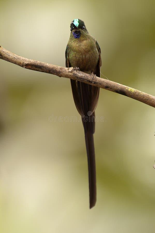 Langstaartnimf, sylphe Long-coupé la queue, kingii d'Aglaiocercus photo libre de droits