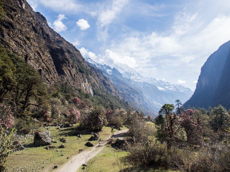 Langtang谷,尼泊尔的杜鹃花 库存图片