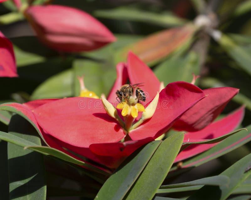 Langue des abeilles photos stock