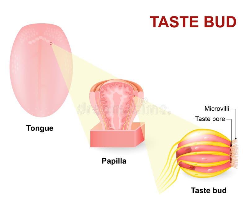 Langue humaine, papilles linguales et papille gustative illustration de vecteur