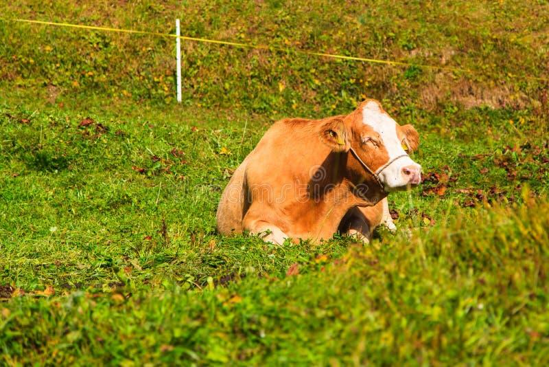Languid krowa w Murren fotografia stock