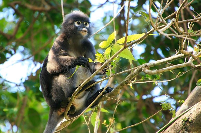 Langur à lunettes se reposant dans un arbre, Ang Thong National Marine P image stock