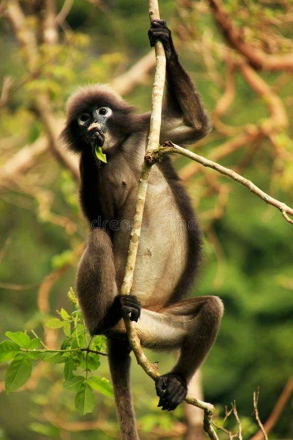 Langur à lunettes se reposant dans un arbre, Ang Thong National Marine P photo libre de droits