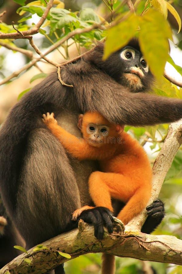 Langur à lunettes se reposant dans un arbre avec un bébé, Ang Thong Natio photo libre de droits