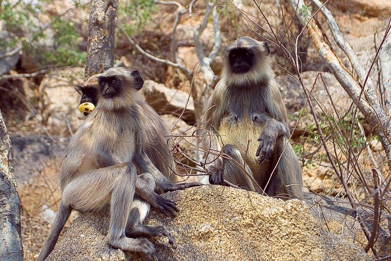 langur πίθηκος στοκ εικόνα με δικαίωμα ελεύθερης χρήσης
