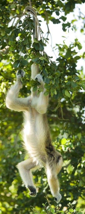 Langur che pende dalla sua coda fotografie stock libere da diritti