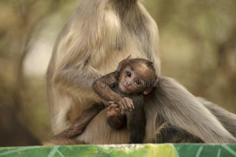 Langur cinzento do bebê com mãe, entellus de Simia, parque do safari de Jhalana, Jaipur, Rajasthan, Índia foto de stock