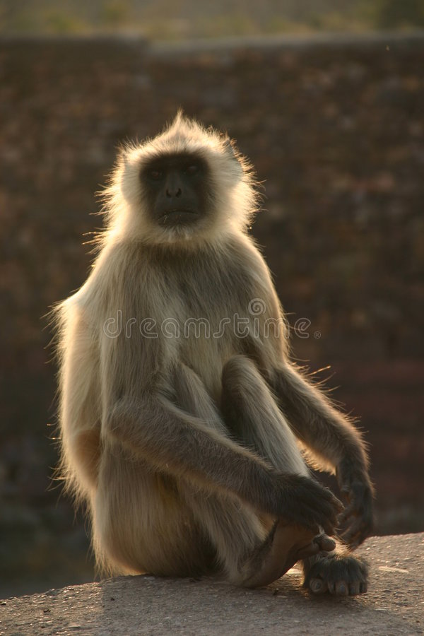 Langur de Hanuman imagens de stock