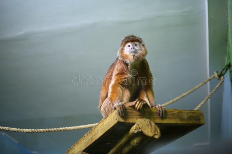 Langur de Javanese dans le zoo à l'intérieur photos libres de droits