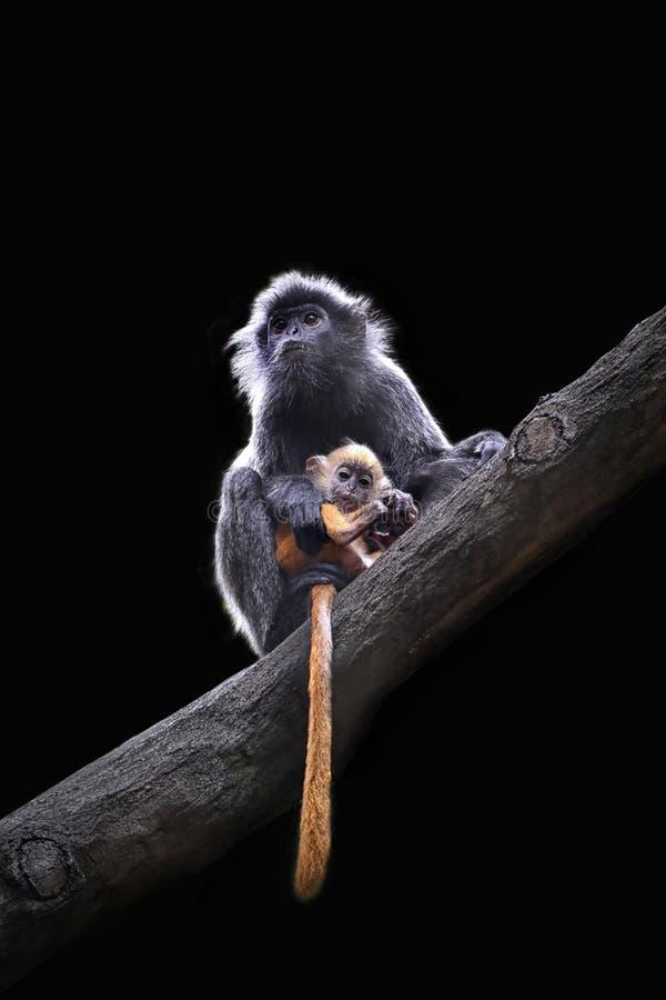 Langur de plata de Kalimantan y su bebé fotografía de archivo