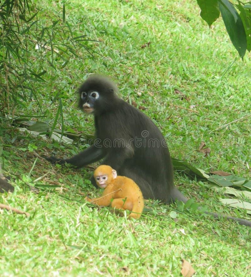 Langur do macaco da mãe com seu bebê recém-nascido fotos de stock