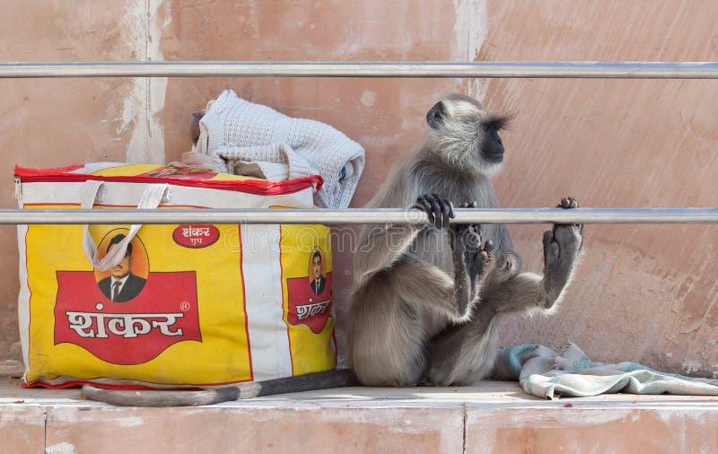 Langur gris o langur de Hanuman en Pushkar, la India foto de archivo libre de regalías