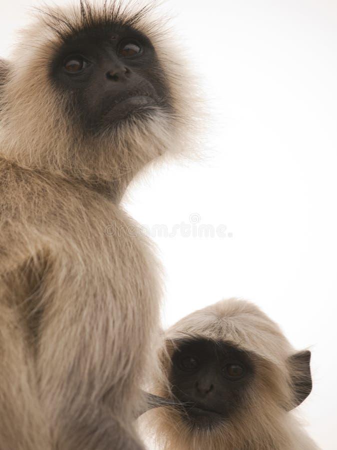 Langur gris que introduce a su bebé imagen de archivo