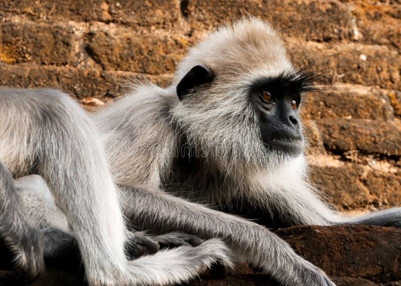 langur gris tufté photo libre de droits