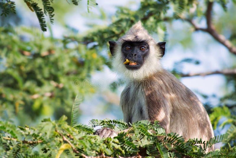 Langur Hanuman - entellus Semnopithecus, Шри-Ланка стоковые фотографии rf