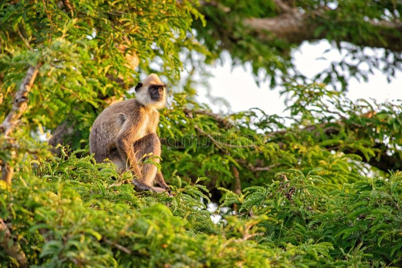 Langur Hanuman - entellus Semnopithecus, Шри-Ланка стоковое фото