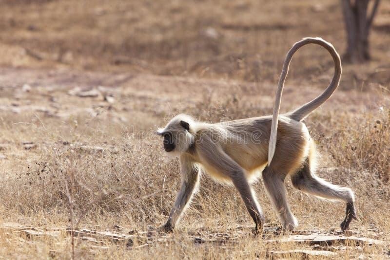 Langur małpa. zdjęcie stock