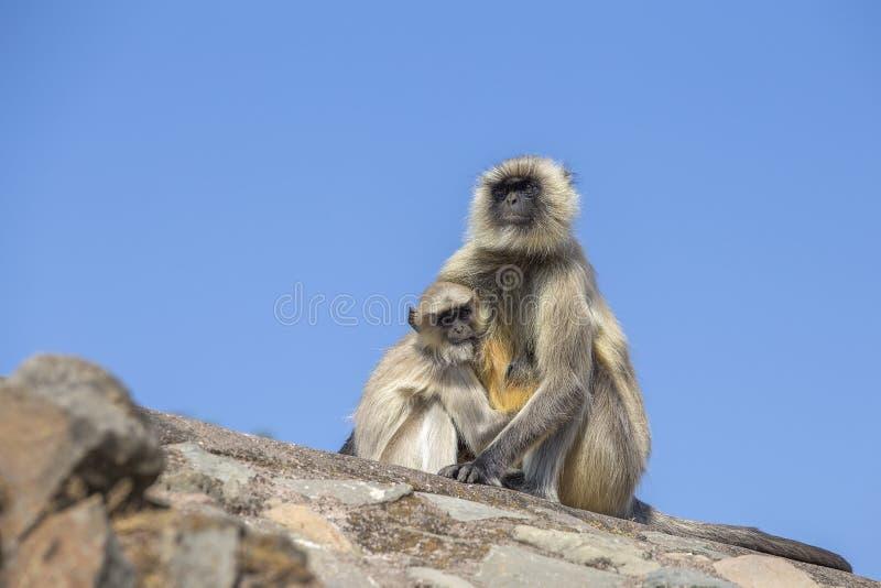Langur małpia rodzina w miasteczku Mandu, India fotografia royalty free