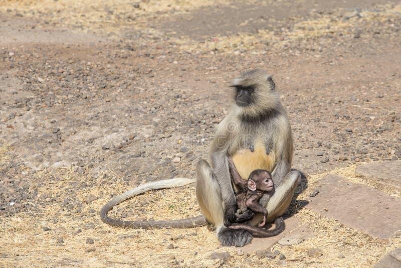 Langur małpia rodzina w miasteczku Mandu, India obraz stock