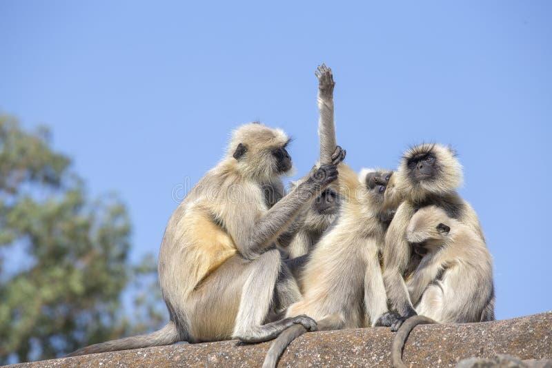 Langur małpia rodzina w miasteczku Mandu, India zdjęcia stock