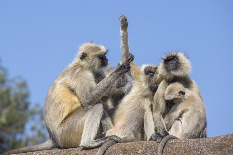 Langur małpia rodzina w miasteczku Mandu, India zdjęcia royalty free